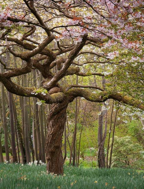 Blossoming Magnolia Tree, Bodnant Gardens, Wales