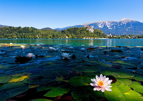 Lily Pads, Lake Bled, Slovenia