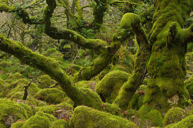 Wistman's Wood, steeped in superstition and folklore, tales abound of Druids, snakes, ghosts, hellhounds with blood red eyes in Dartmoor, England