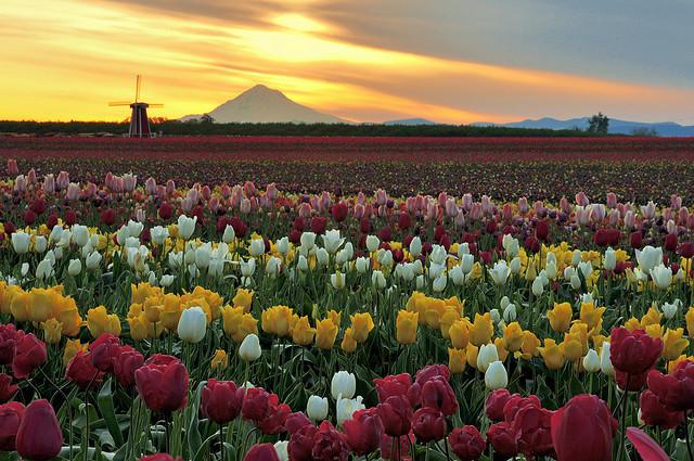 Wooden Shoe Tulip Farm in Woodburn, Oregon, USA
