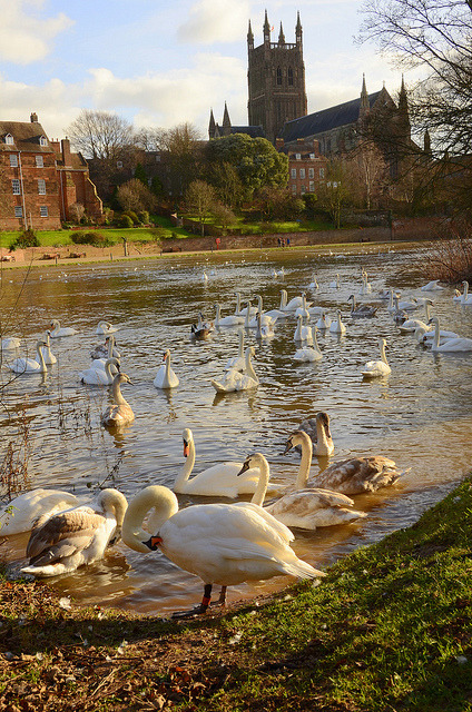 Swans on the river Severn in Worcester, England