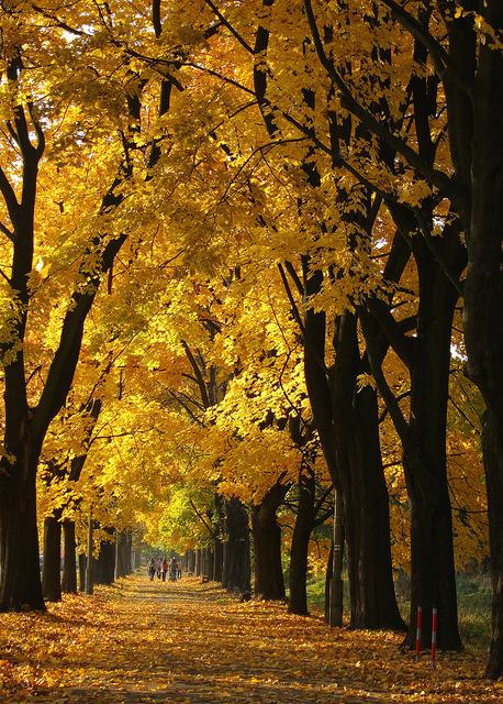 Golden autumn alley in Zwierzyniec, Poland