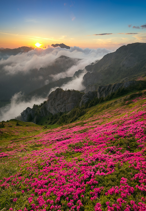 Sunset with Rhododendron blossom in Ciucas Mountains, Romania