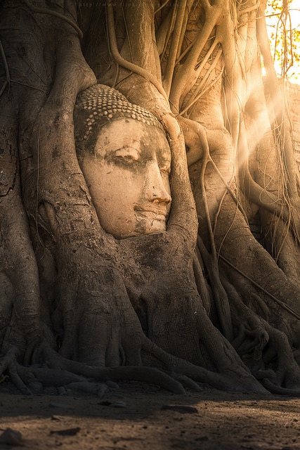 The Buddha Head at Wat Mahathat, Ayutthaya / Thailand