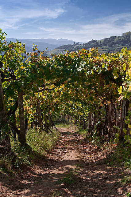 Vineyard path in Douro Valley / Portugal